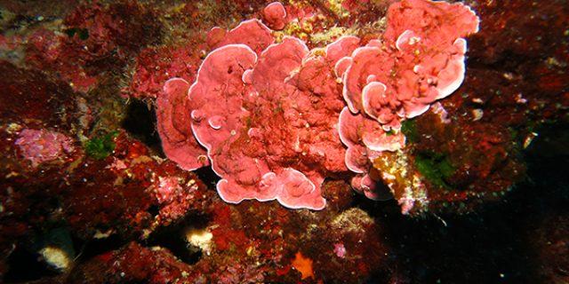 Coralline Algae Formations